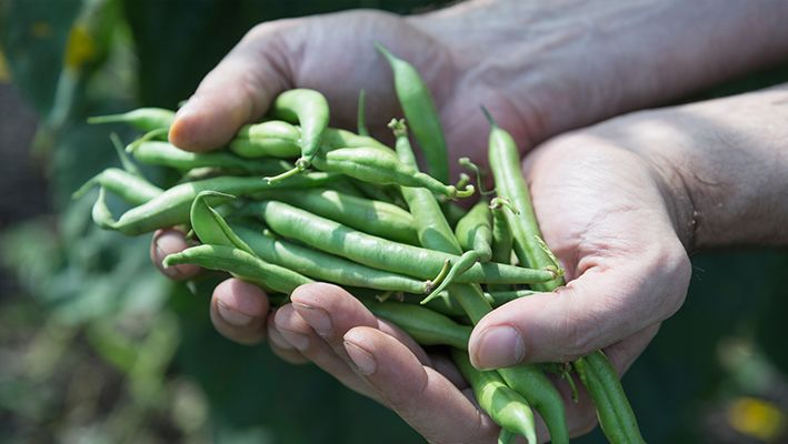 A person holds freshly picked green beans in their hands.