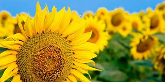 ExpressSun for broad-spectrum weed control in sunflowers.