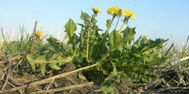 Dandelions are best controlled in an out-of-crop application.