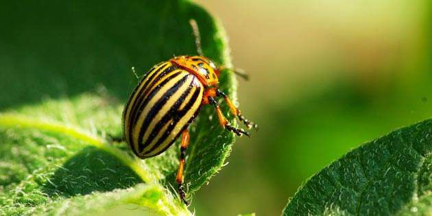 Coragen® helps manage Colorado Potato Beetle.