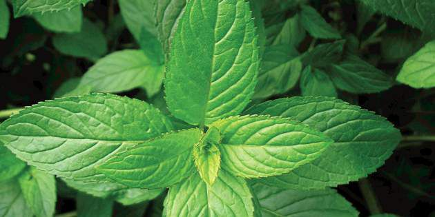 Coragen® controls mint root borer for better mint yields.