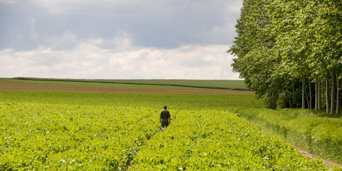 A farmer checks fields for problems caused by counterfeit or illegal pesticides.
