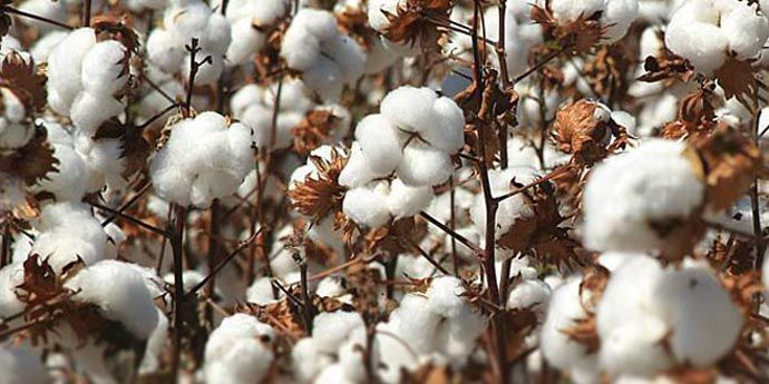 Altacor® insecticide - Cotton