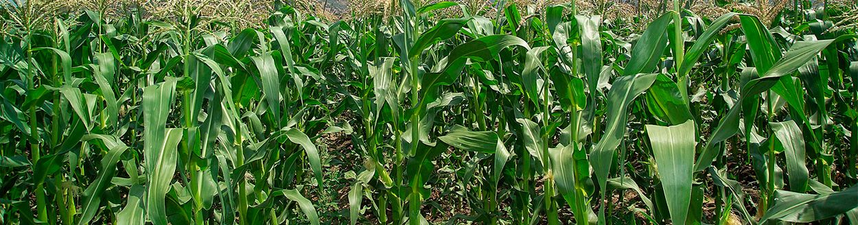Maize Herbicide   DuPont™ Accent® – South Africa   DuPont