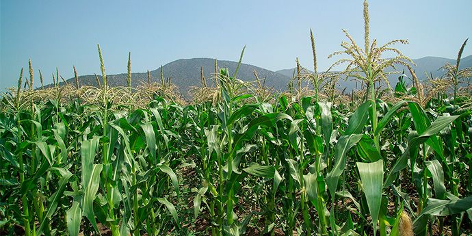 Accent® Maize Herbicide: Proven Efficacy - Improved Formulation