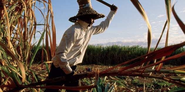 A farm worker is busy cutting sugarcane in the field.