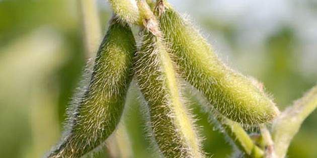 Used for burndown in all soybeans, or in-crop on glyphosate-tolerant (GT) soybeans only.