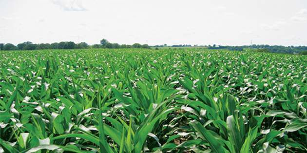DuPont™ Steadfast® Q herbicide is a postemergence corn herbicide.