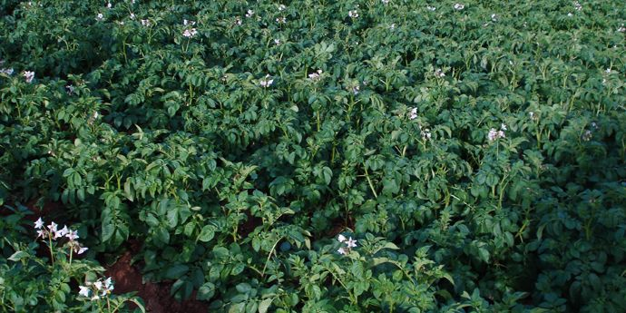 Control Of Late And Early Blight In Tomatoes And Potatoes