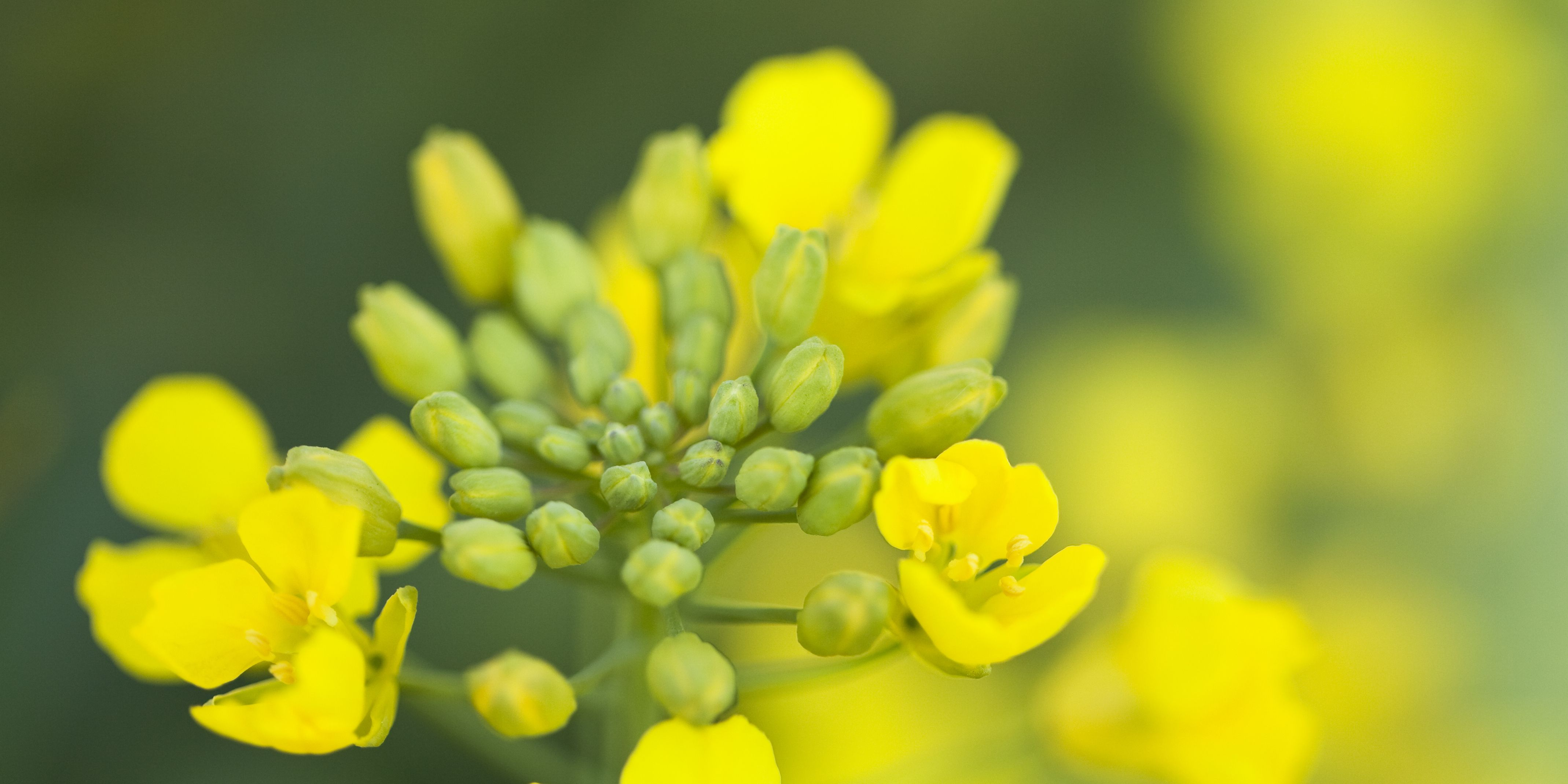 DuPont™ Acapela® fungicide for the control of sclerotinia in canola.