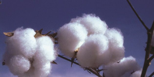 Prevathon® for control of cotton insects.