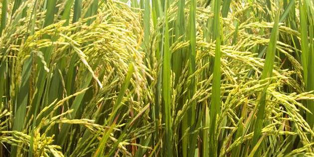 杜邦™威农®为种植者带来了健康生长的稻田