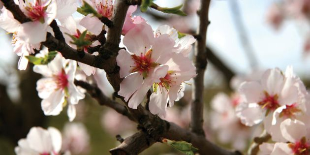 Almond blossoms - Strategic planning for almond insect control helps protect the crop.