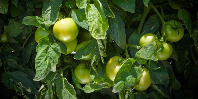 A year-round strategy helps improve tomato disease management.