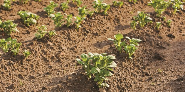 Developing potato crops are protected by Coragen® and its effective potato insect control.