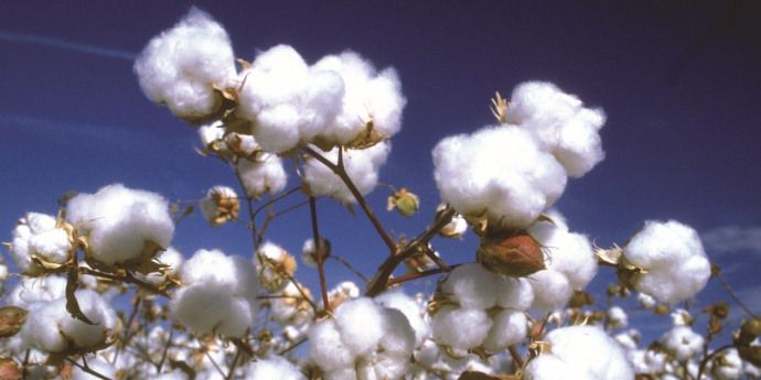 Controlling cotton weeds helps protect yield.