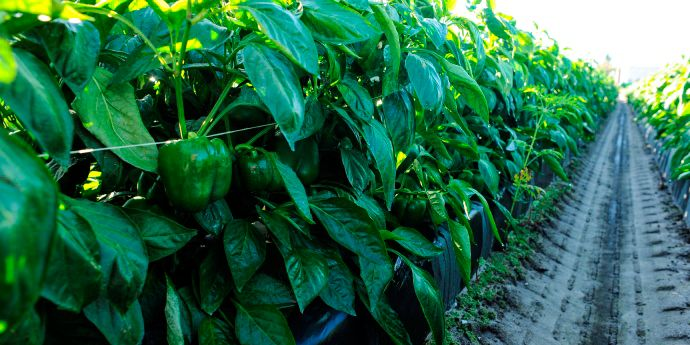 Verimark® and Coragen® provide lasting pepper insect control.