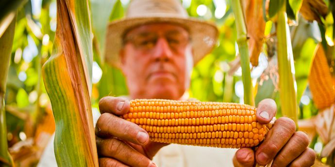 Farmer inspecting cob of corn