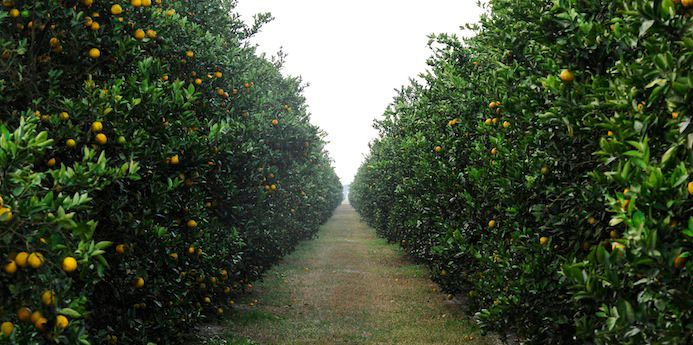 The HLB threat makes maintaining healthy citrus groves the top challenge, say Florida growers.