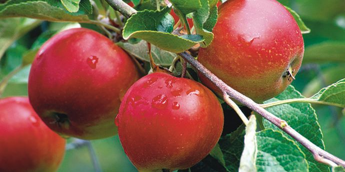Altacor® insect control protects orchards from insect damage to maximize yield potential.