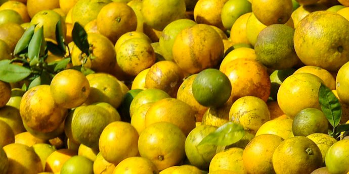 Huanglongbing, or greening disease, is known as the most devastating citrus disease in the world.