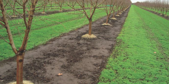 Matrix® SG herbicide applied preemergence helps maximize almond production by preventing weed competition.