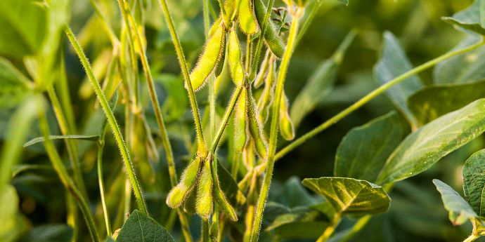 Healthy soybean plants with immature pods.