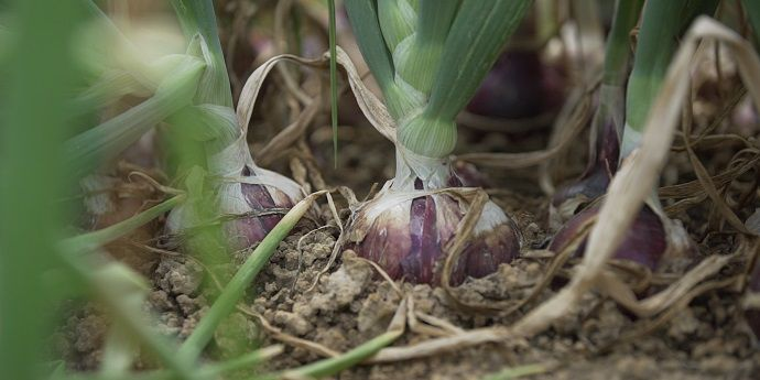 Effective thrips control in onions increases resulting crop quality.
