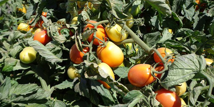 Improved worm control helps maximize tomato yield and quality.