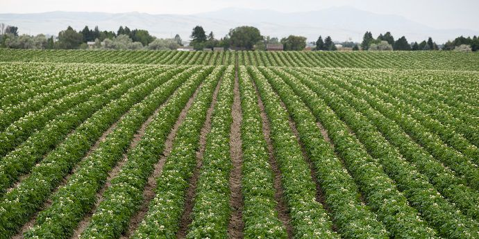 Early season management helps control potato insects as the crop develops.