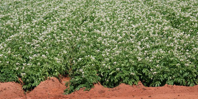 Protect yield by controlling potato pests, including insects and nematodes.