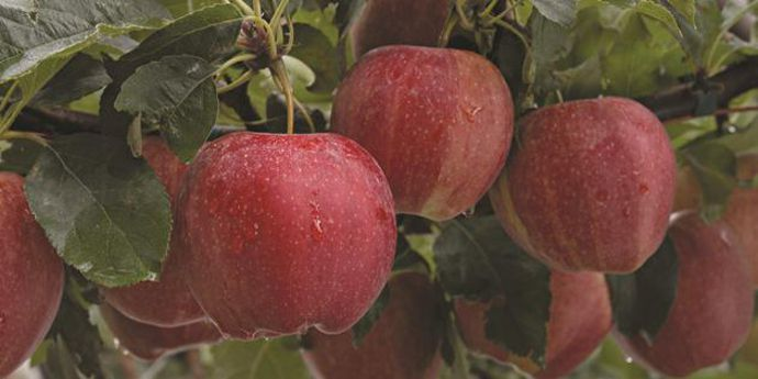 Altacor® provides reliable control of pome fruit pests and stone fruit pests.