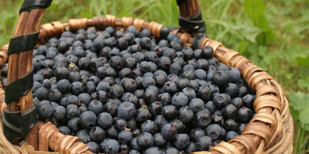 Crop Protection for Blueberries From Weeds, Insects and Disease