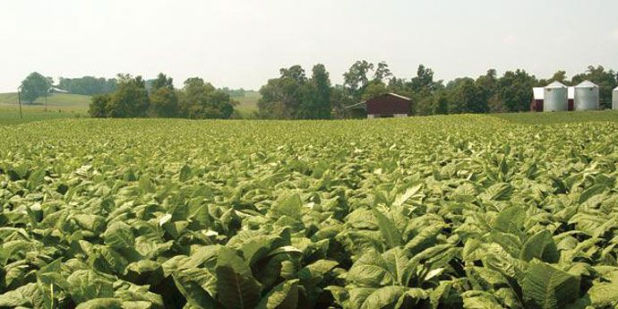 Coragen® for reliable control of tobacco crop pests.