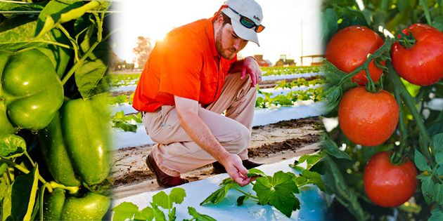Verimark® provides early season soil-applied insect control for vegetable crops and young citrus trees.