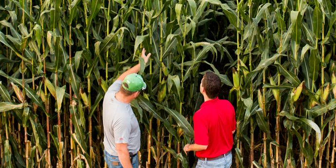 Two men examining corn crop