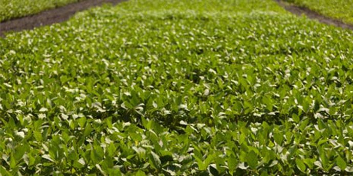 Weed-free fields help soybean crops deliver on yield potential.