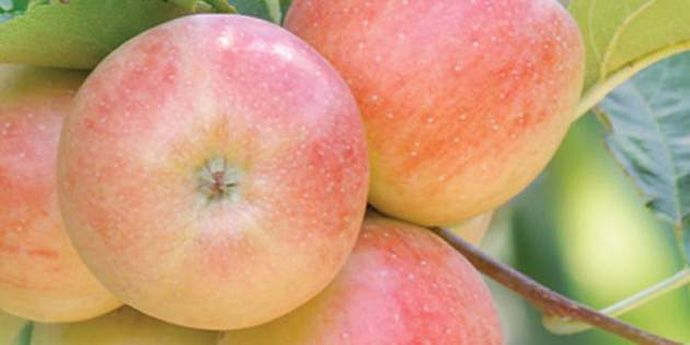 Fontelis® fungicide is registered for disease control on many crops including apples, blueberries, stone fruits and vegetables.