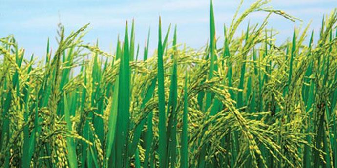 Dermacor® X-100 seed treatment protects rice plants against rice water weevil and later-season stemborers.