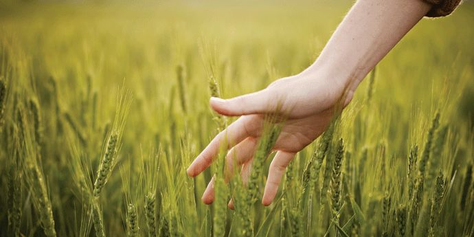 DuPont™ Harmony® Grass 240 EC herbicide for wheat. Image:  Woman's hand touching wheat in field.