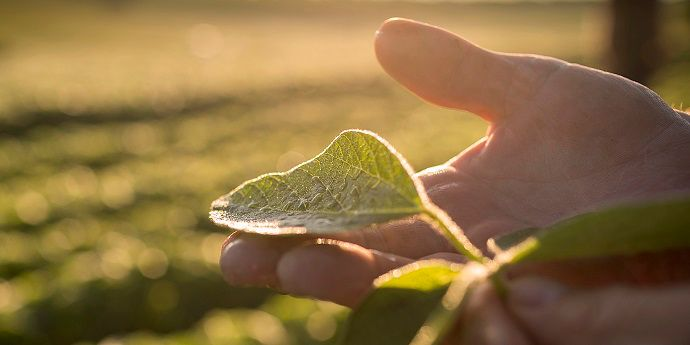 A hand holding a soybean leaf against a blurred background of a mid-season soybean field.