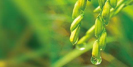杜邦™稻将®为种植者带来了嫩绿的稻穗