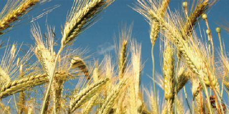 杜邦™巨星®为种植者带来了颗粒饱满的麦穗