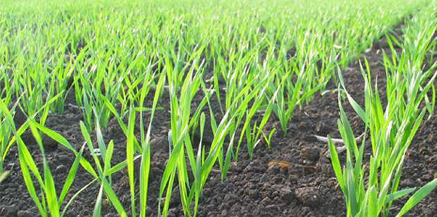 Staka SX herbicide boost for blackgrass control