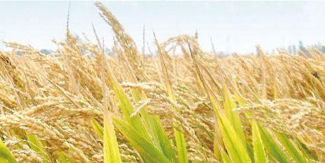 杜邦™农得时®为种植者带来了金色的丰收稻田