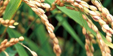 杜邦™歐特®為種植者帶來了翠綠挺直的稻田
