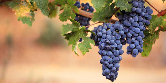 Talendo® strong disease control for grapes.