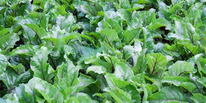 Venzar Flowable for weed control in beet