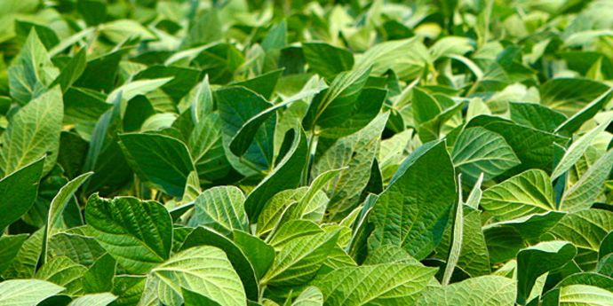 Classic® Reliable, Effective Soybean Herbicide