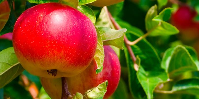 Fontelis® - protection against apple diseases
